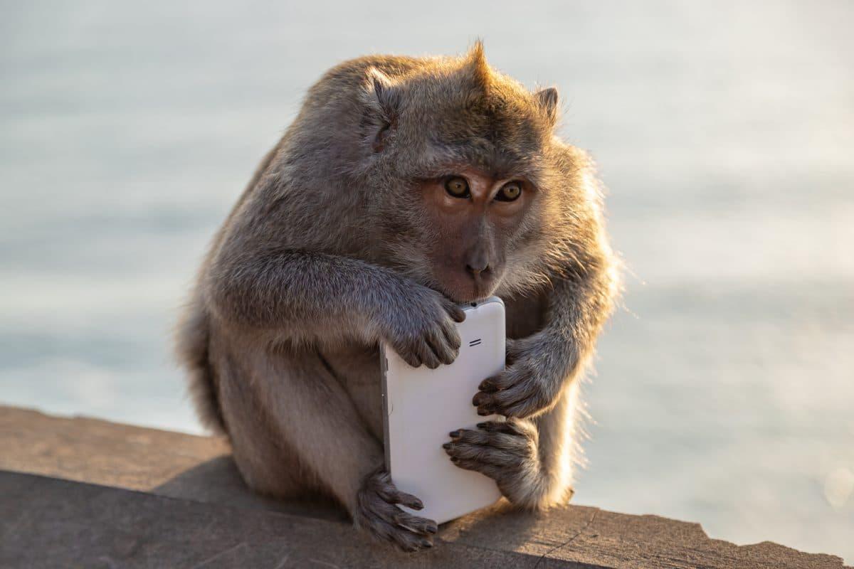 Affe klaut Smartphone von Student und macht Selfies