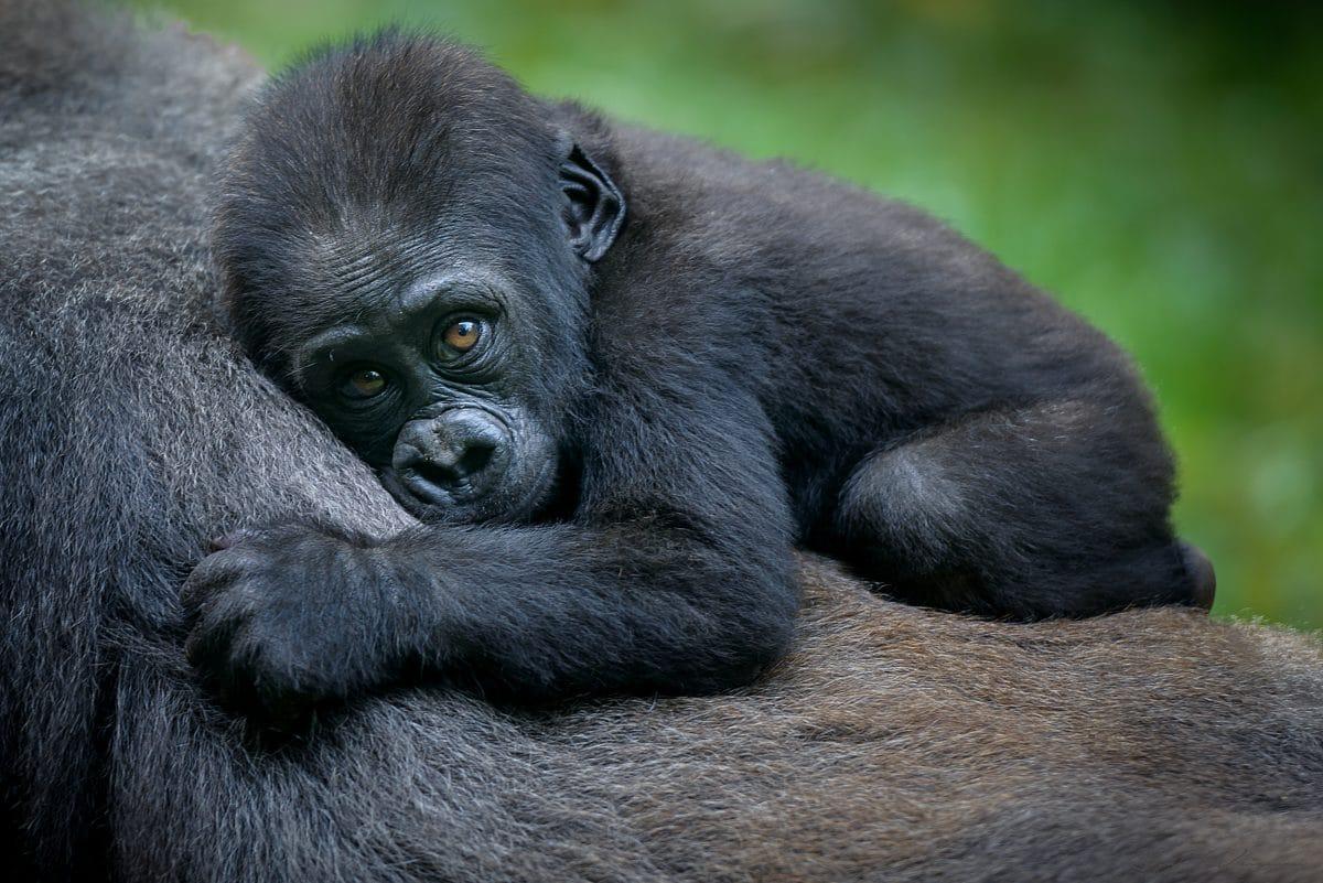 Bei den Gorillas in Uganda gibt es einen Babyboom