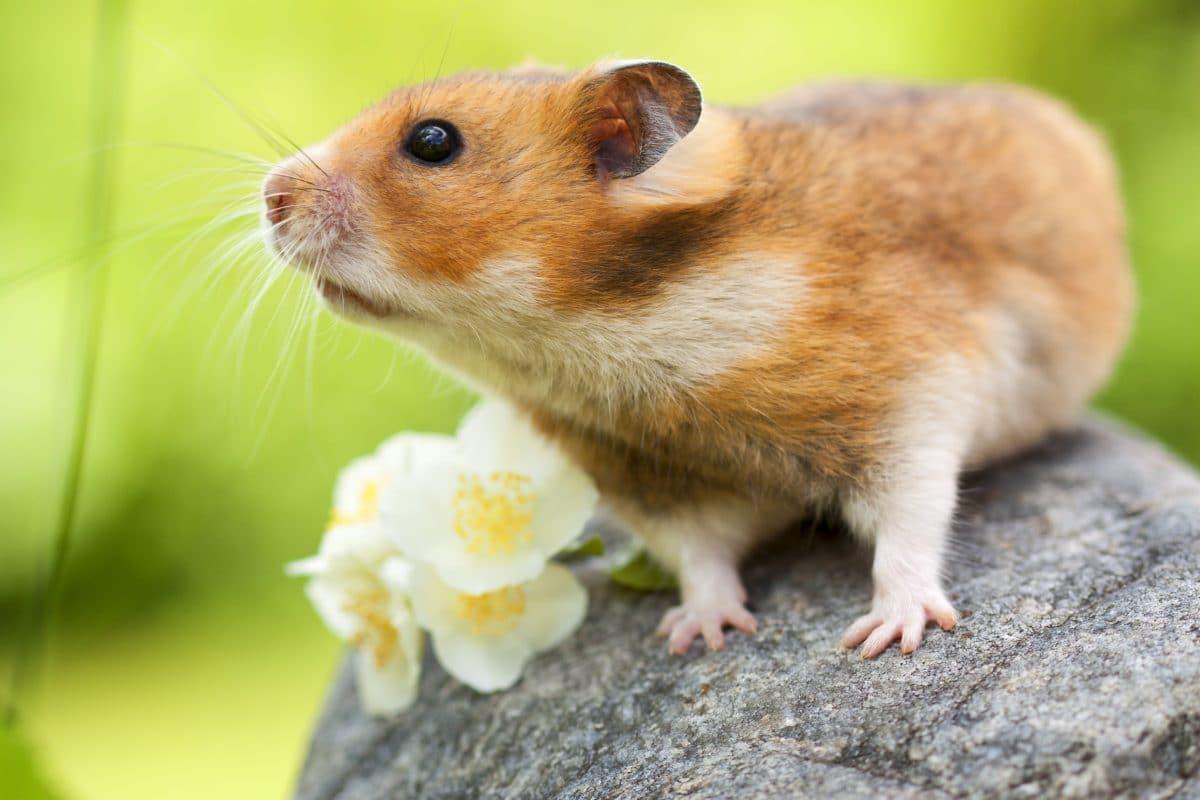 Das bedeutet es, wenn du von einem Hamster träumst
