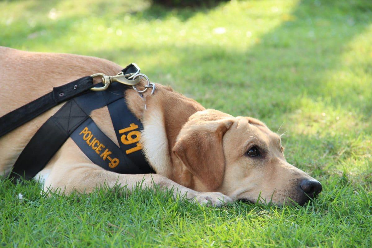 Dieser Hund schaffte die Polizeiprüfung nicht, weil er zu lieb ist