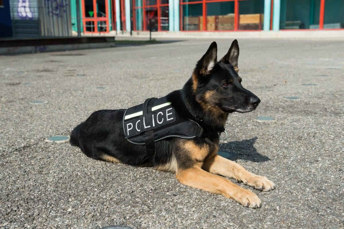 Polizeihunde müssen geschützt werden: 10-Jähriger sammelt Spenden für kugelsichere Westen