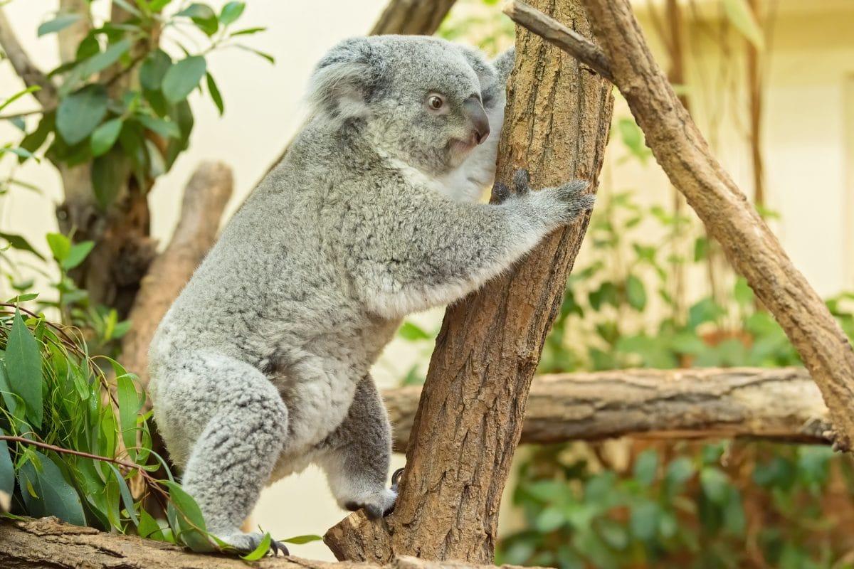 Koala-Nachwuchs im Tiergarten Schönbrunn