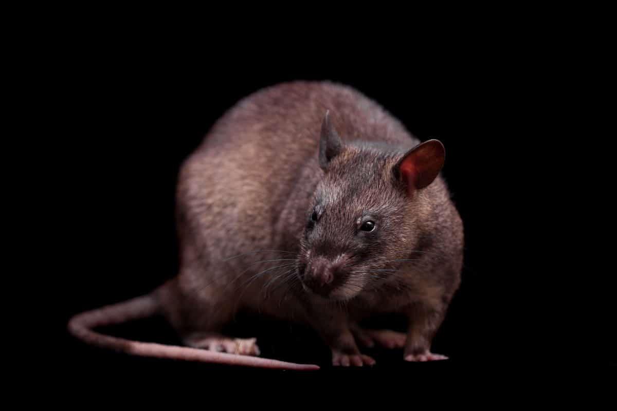 Ratte bekommt Tapferkeitsmedaille verliehen