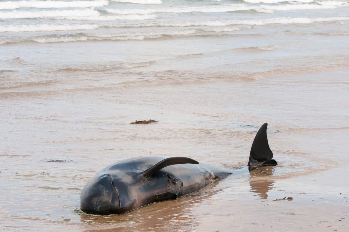 270 Wale vor Tasmanien gestrandet
