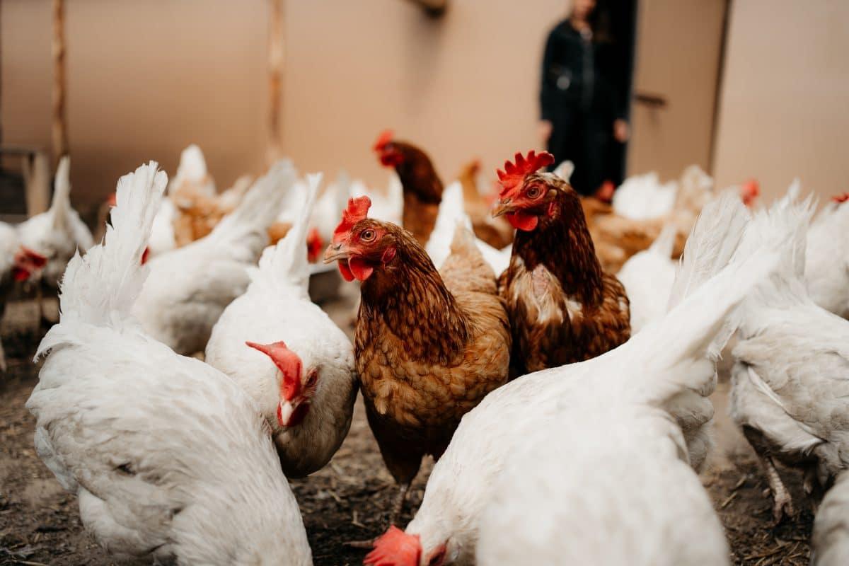 Über 20.000 Hühner erstickt: Einbrecher schaltete die Lüftung im Stall aus