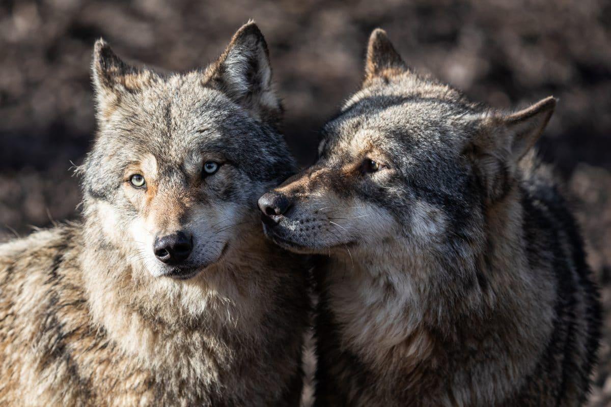 Kopenhagener Zoo tötet 3 Wölfe und Bärenopa wegen Umbau