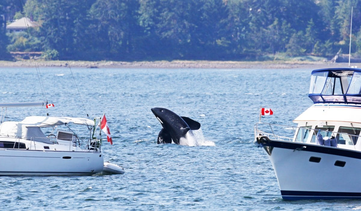 Rätselhafte Attacken von Orcas: Tiere könnten aus Rache handeln