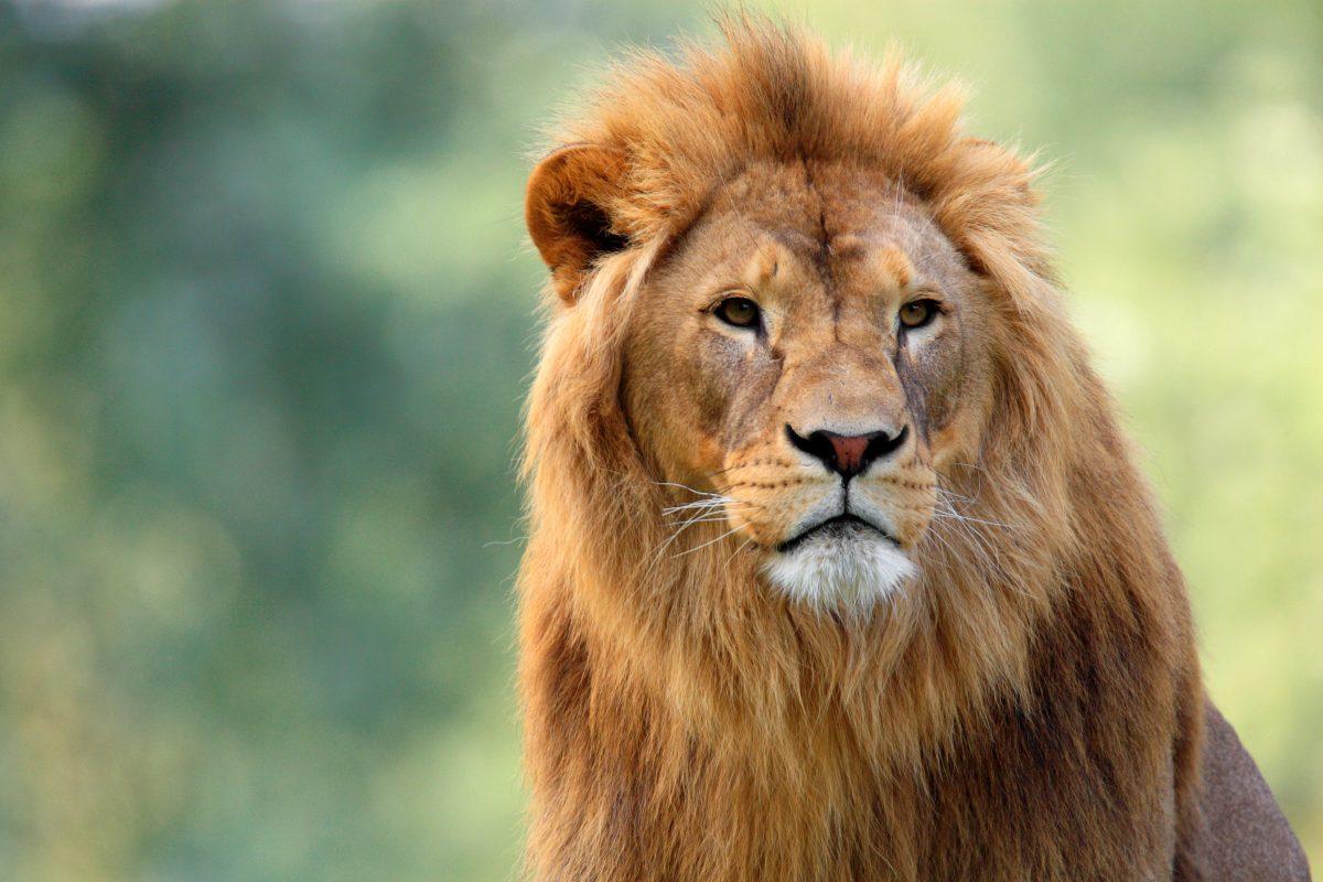 Tiergarten in Deutschland will unfruchtbaren Löwen töten