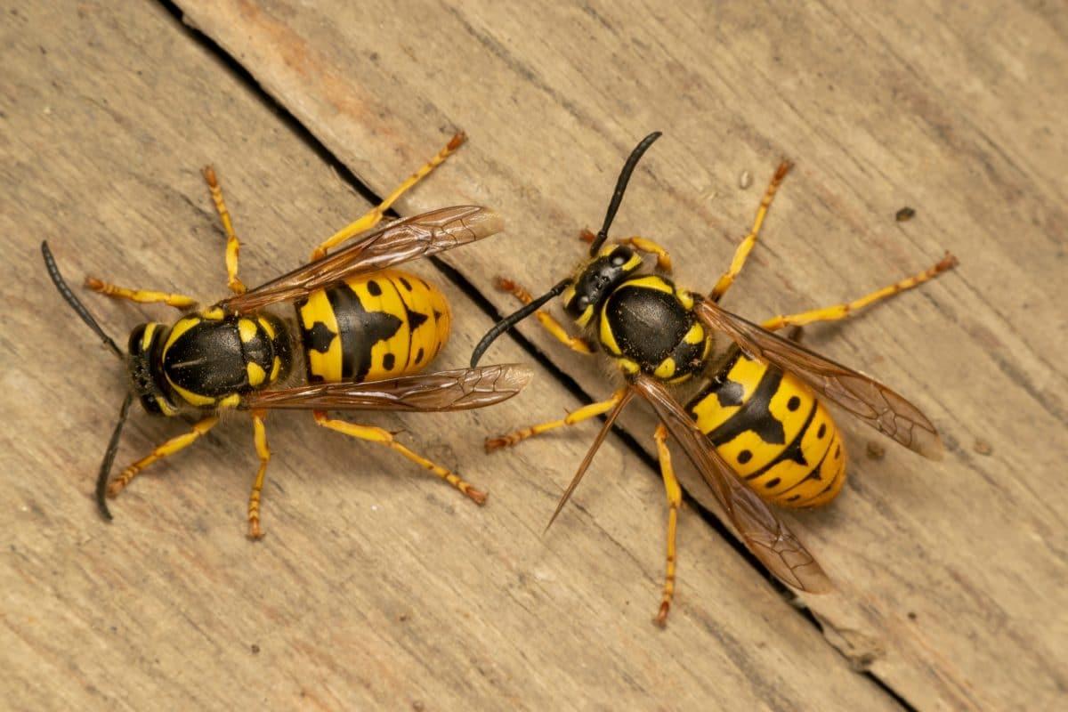 Darum sind Wespen für den Flugverkehr gefährlich