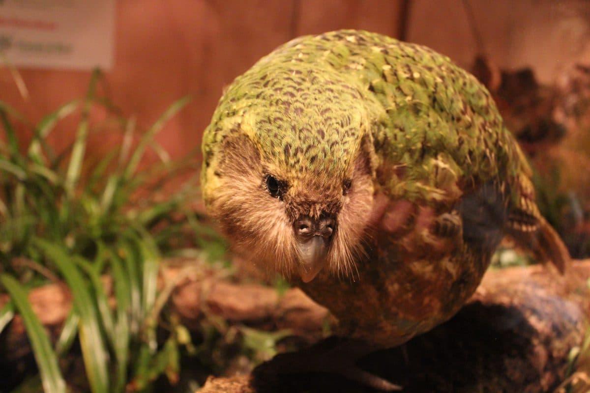 Der dicke, stinkende Kakapo ist Neuseelands Vogel des Jahres