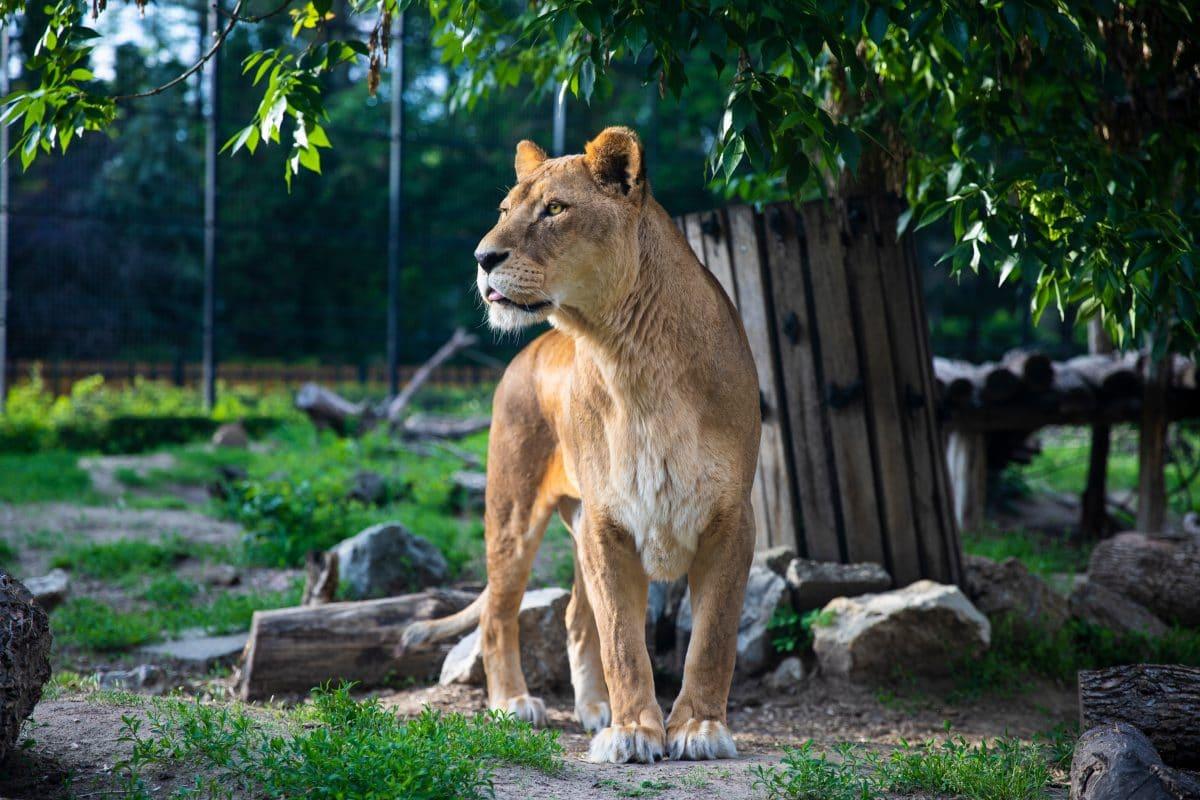 Tierschützer befreien ausgehungerte Löwen aus Zoo