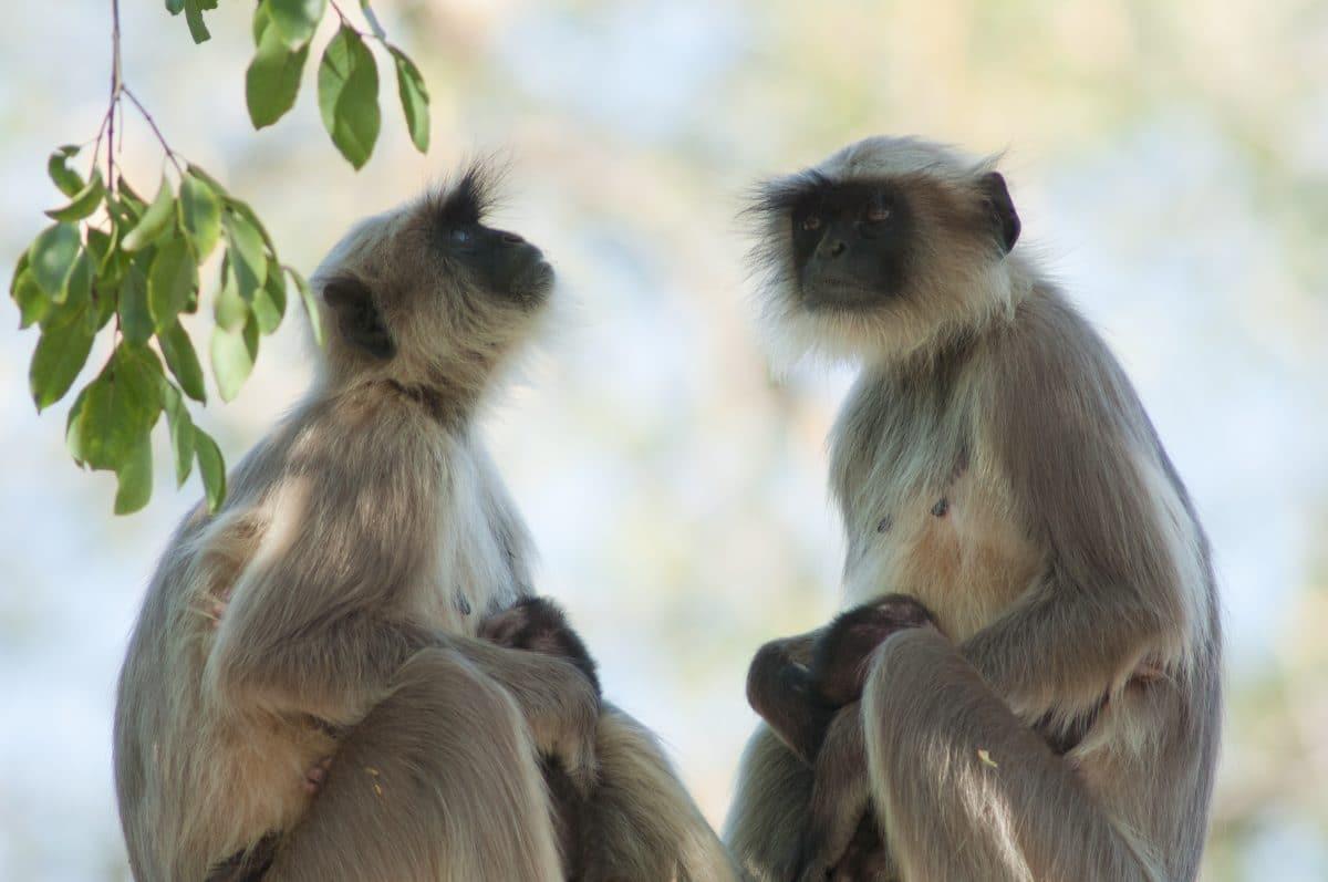 Bisher unbekannte Affenart in Vulkankrater entdeckt