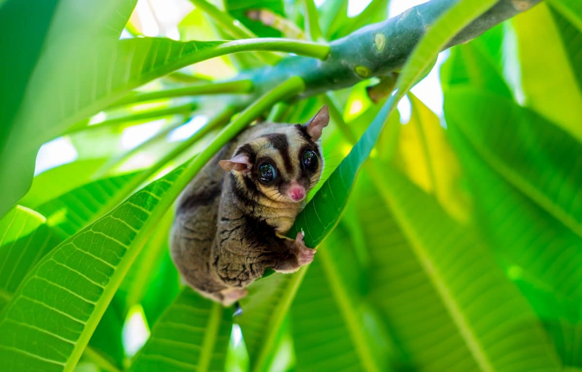 Neue flauschige Tierart entdeckt: Der Großflugbeutler