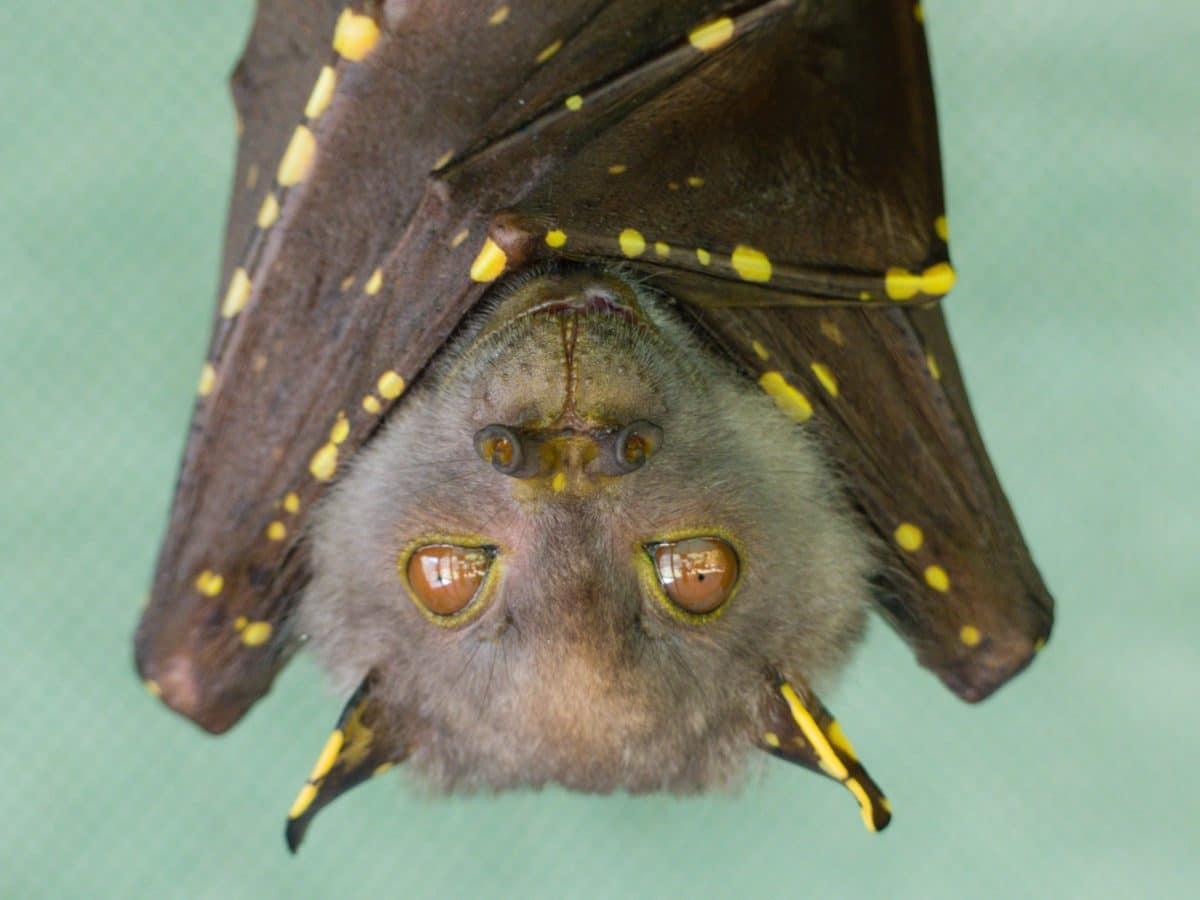 """Seltene Fledermausart lässt """"Maske"""" während Paarung fallen"""