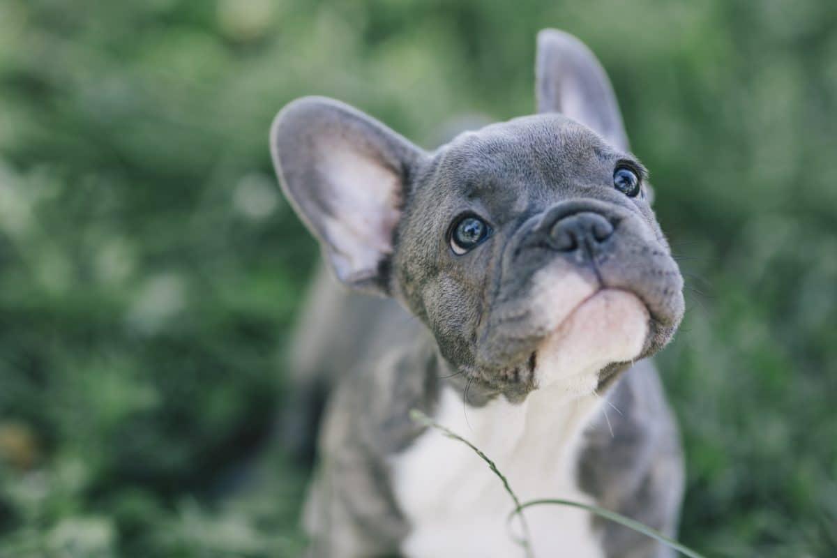 Stadt in Kentucky wählt französische Dogge zum Bürgermeister