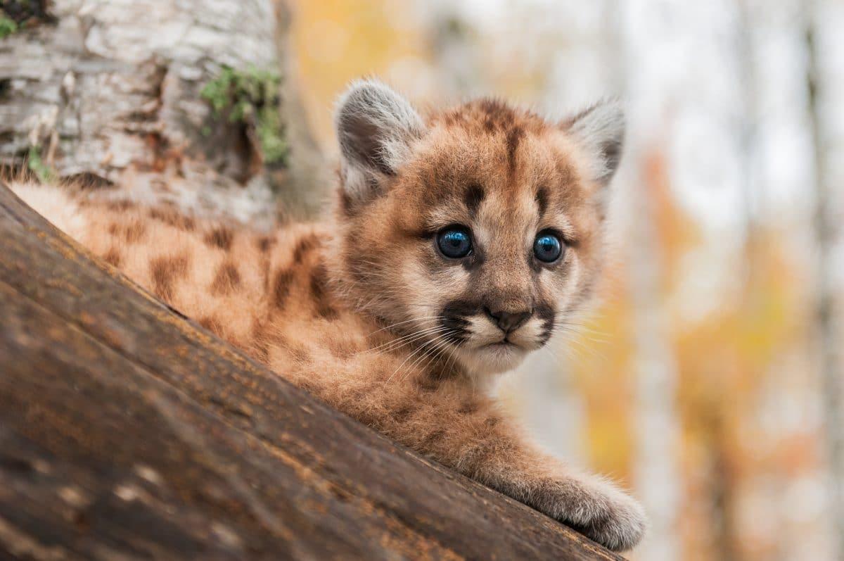 Verwaistes Puma-Baby findet nach Waldbränden neues Zuhause