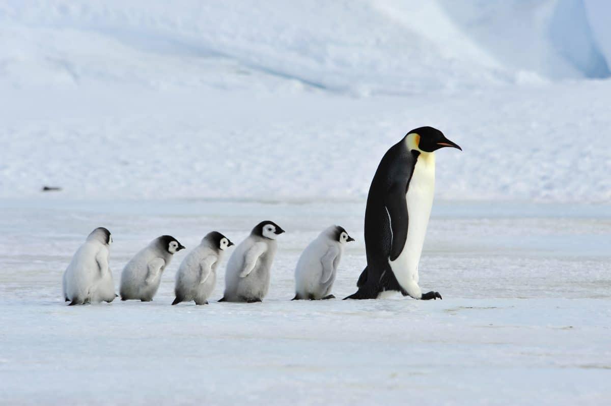 Weißer Pinguin auf Galapagos-Inseln entdeckt
