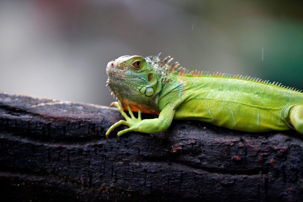 "Florida: Wetterdienst warnt vor ""herabfallenden Leguanen"""