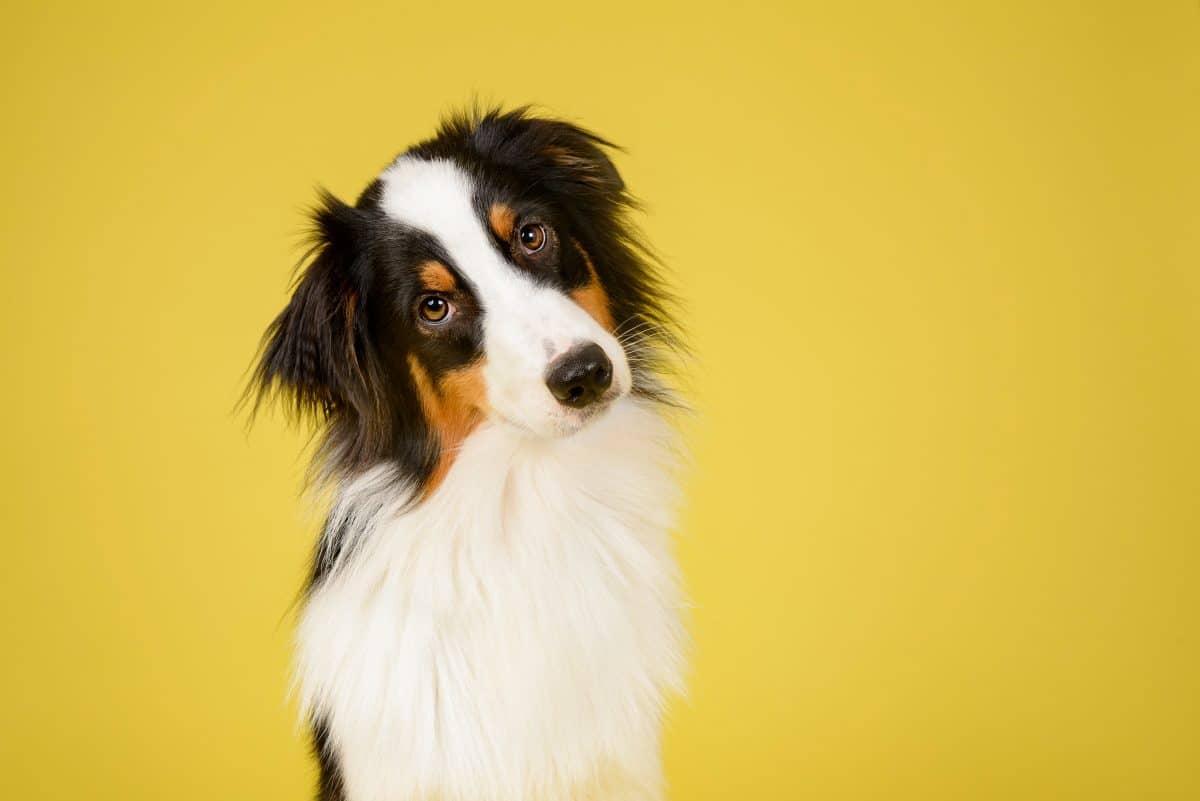 Studie zeigt: Hunde hören wie Kleinkinder