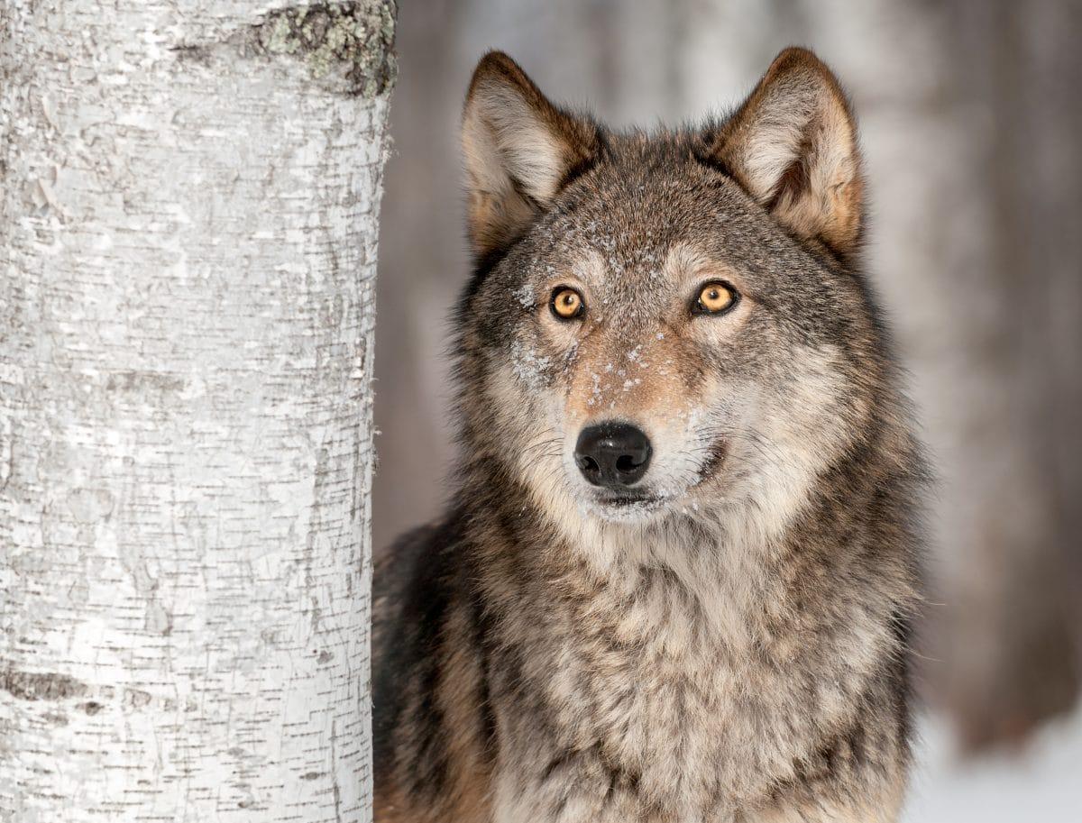 57.000 Jahre alte Wolfsmumie aus Eiszeit entdeckt