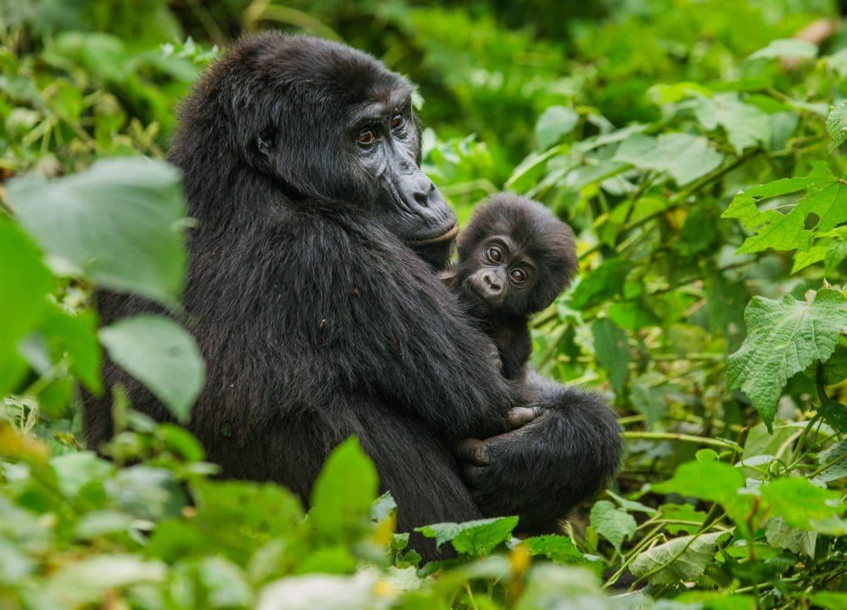 Gorillas im Zoo von San Diego mit Corona infiziert