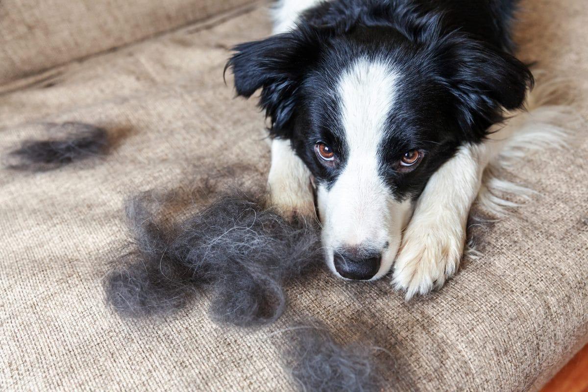 Deshalb solltest du fluffige Hundehaare nicht wegwerfen
