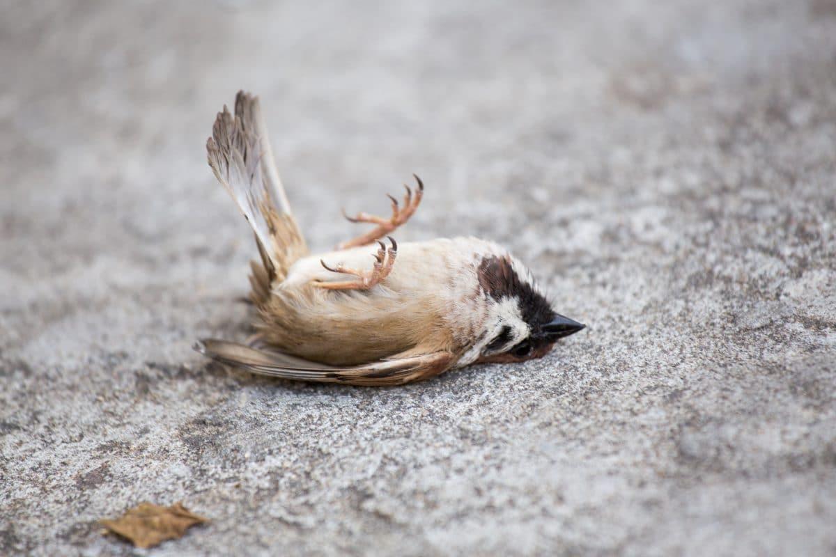 Massensterben von Vögeln in Rom wegen Silvesterkrachern