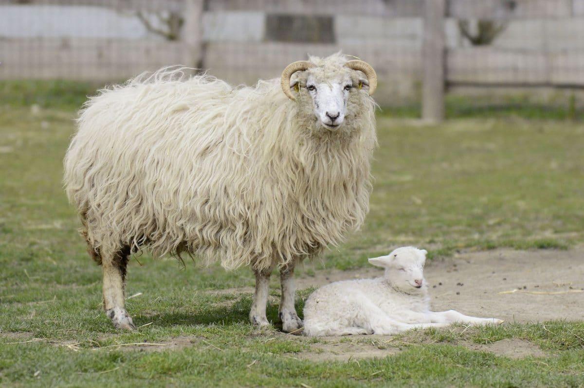 Tierquäler töten zwei Schafe in Wiener Streichelzoo und nehmen ihr Fleisch mit