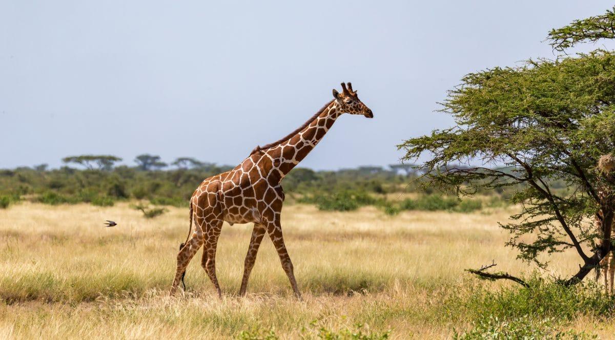 Zwerg-Giraffen entdeckt: Gimli und Nigel sind zwei Meter kleiner als ihre Artgenossen