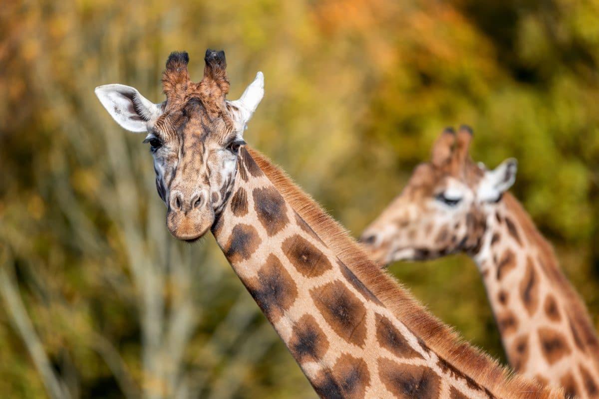 Giraffen starben an Stromschlag wegen zu niedrig hängender Stromkabel