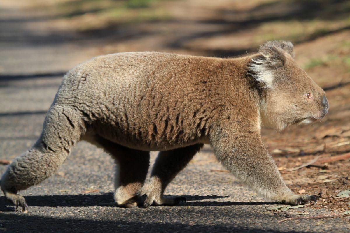 Koala löst Massenkarambolage aus und setzt sich selbst ans Steuer