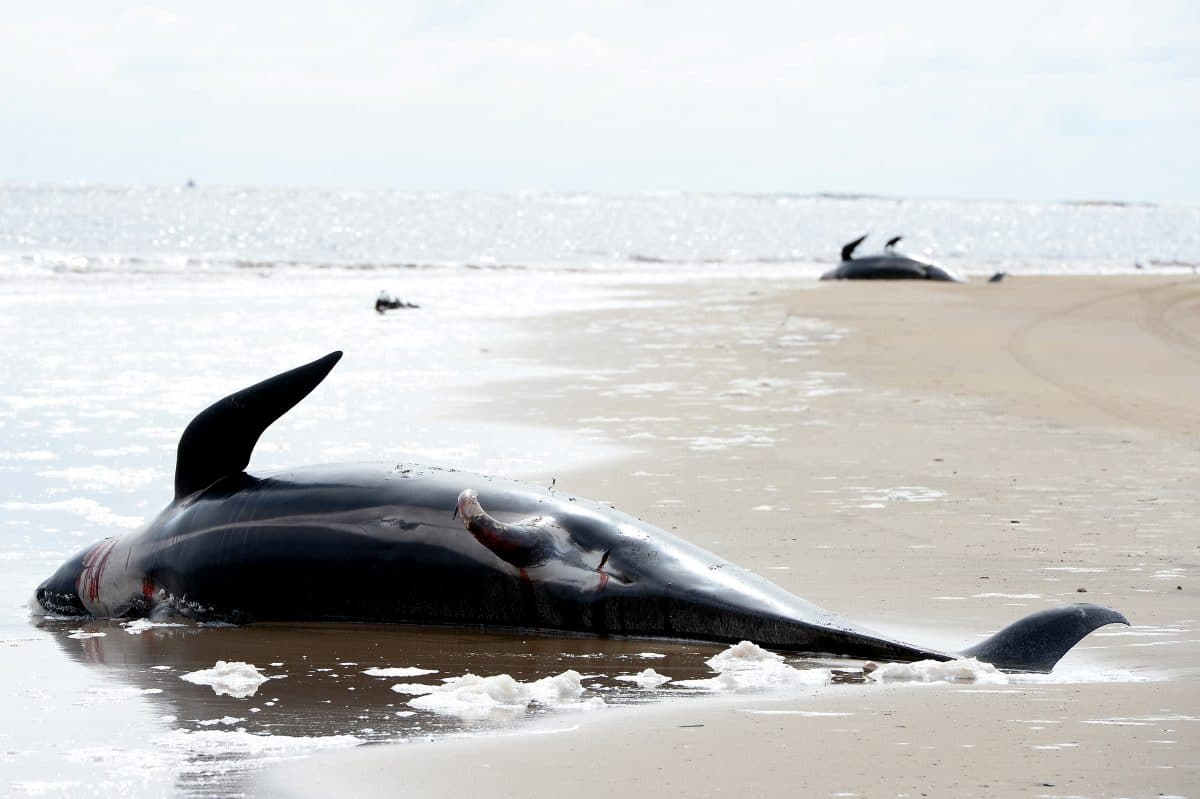 Dutzende Wale in Neuseeland gestrandet