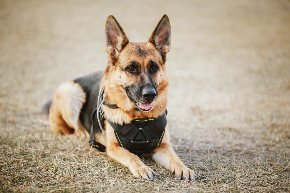 Polizeihunde bekommen zu wenig Pension: Gewerkschaft in Bayern fordert mehr Geld