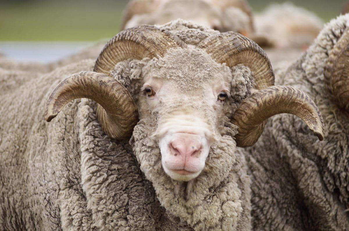 """Verwildertes Schaf """"Baarack"""" von 35 Kilo Wolle befreit"""