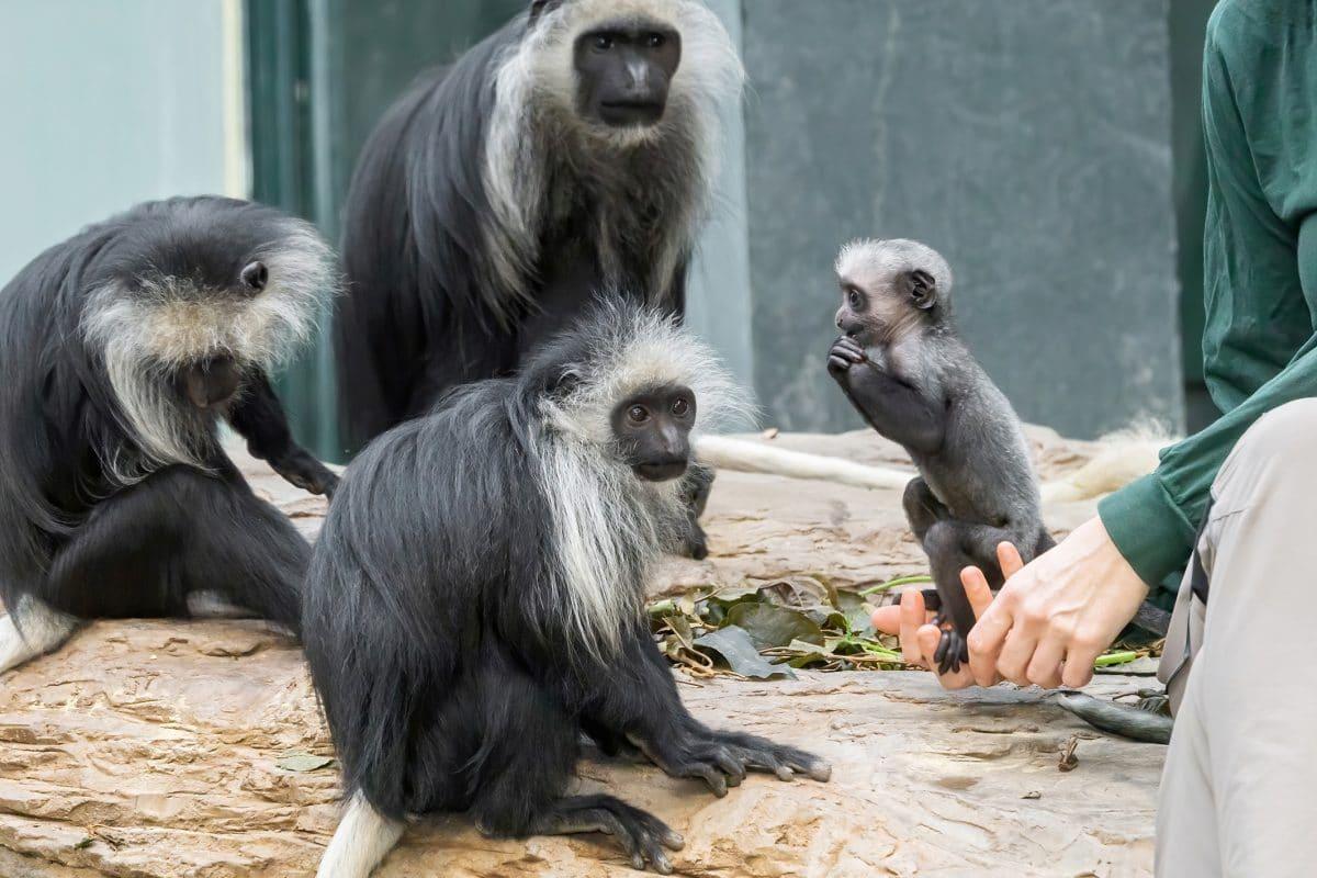 Nachwuchs bei den Bärenstummelaffen in Schönbrunn: Mutter verstorben