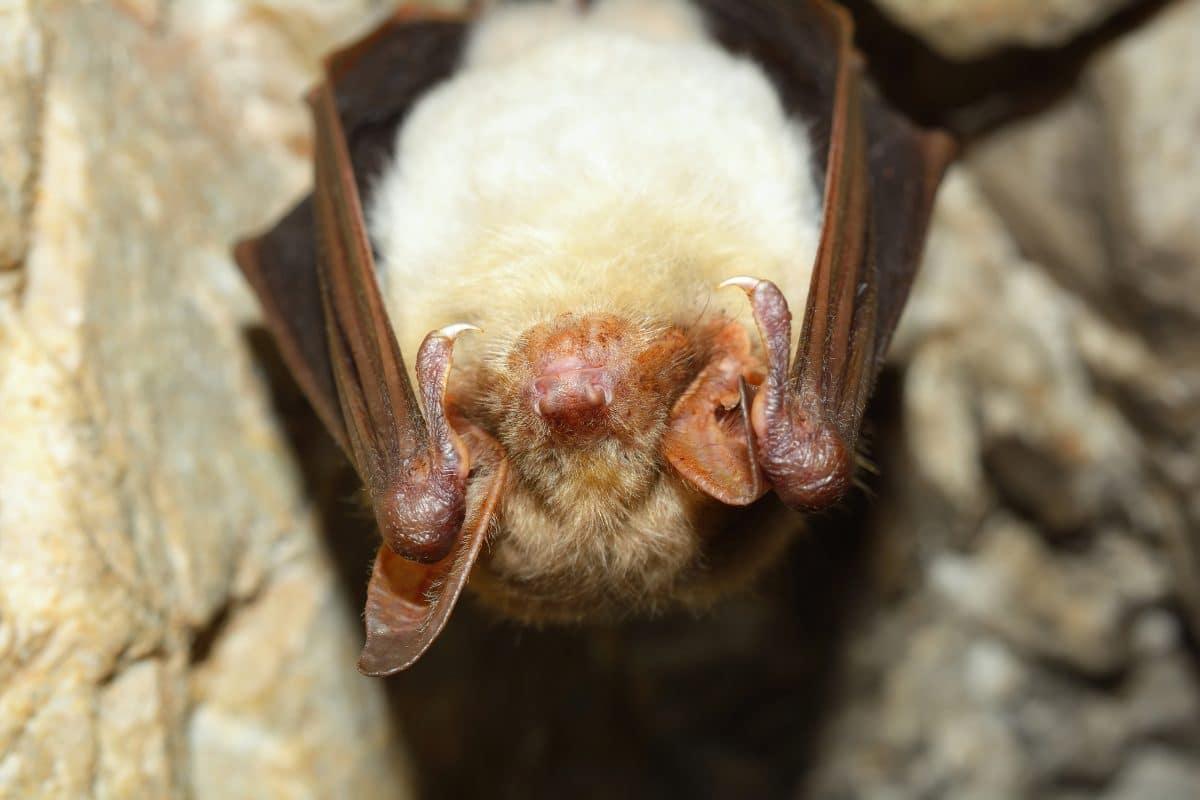 """Seltene Fledermaus: """"Kleines Mausohr"""" im Nationalpark Gesäuse entdeckt"""