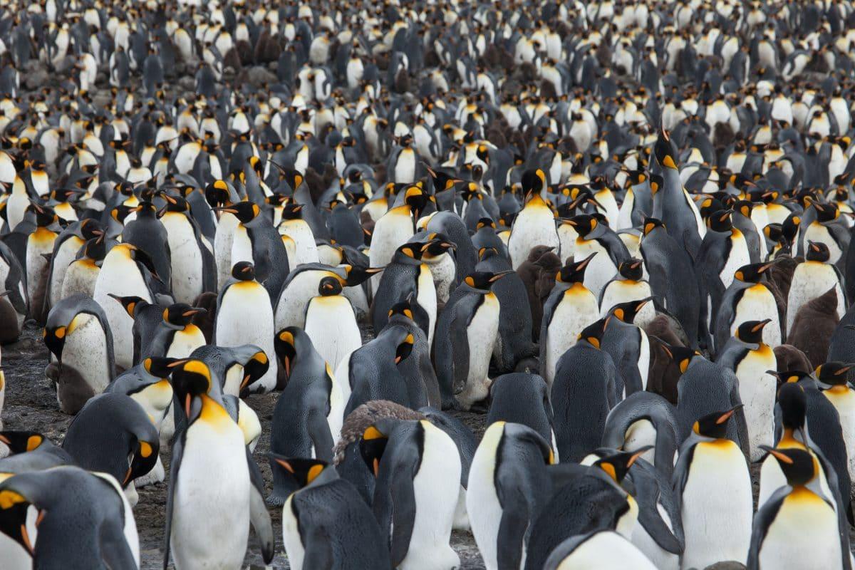 Seltener gelber Pinguin fotografiert