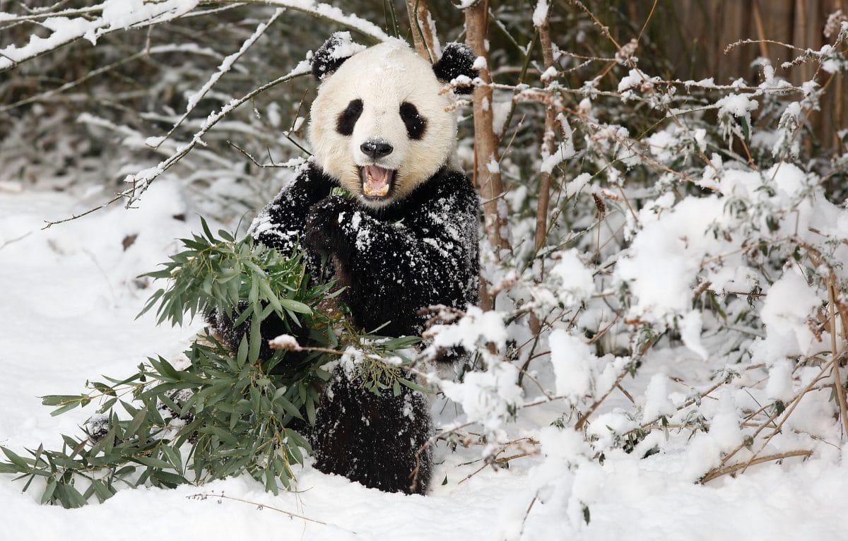 Pandas toben im Schnee: Süßes Video aus Zoo in Washington