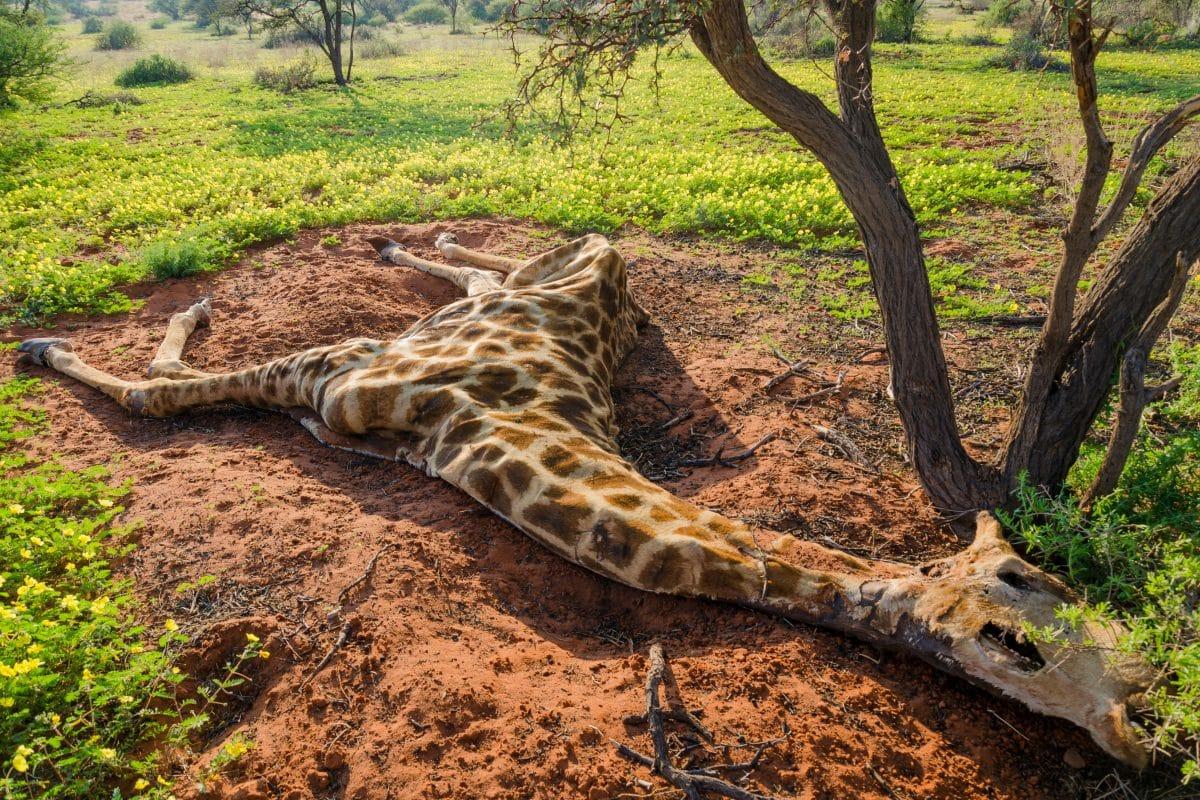 Totes Tier als Valentinstagsgeschenk: Jägerin posiert mit Herz von Giraffe
