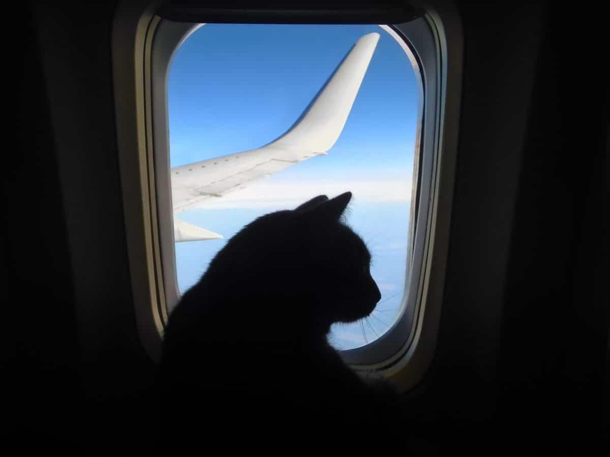 Katze attackiert Piloten und zwingt Flugzeug zur Notlandung