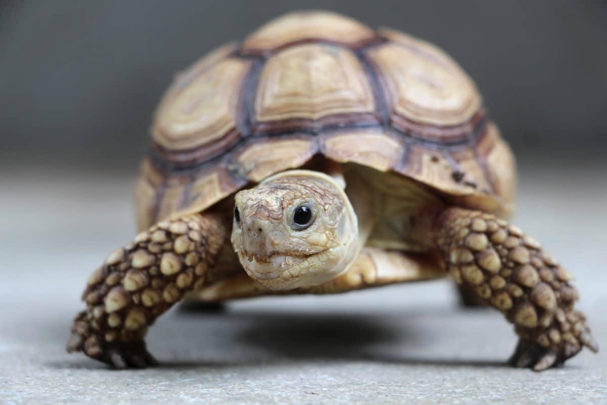 Schmuggler mit 185 Schildkröten im Koffer erwischt