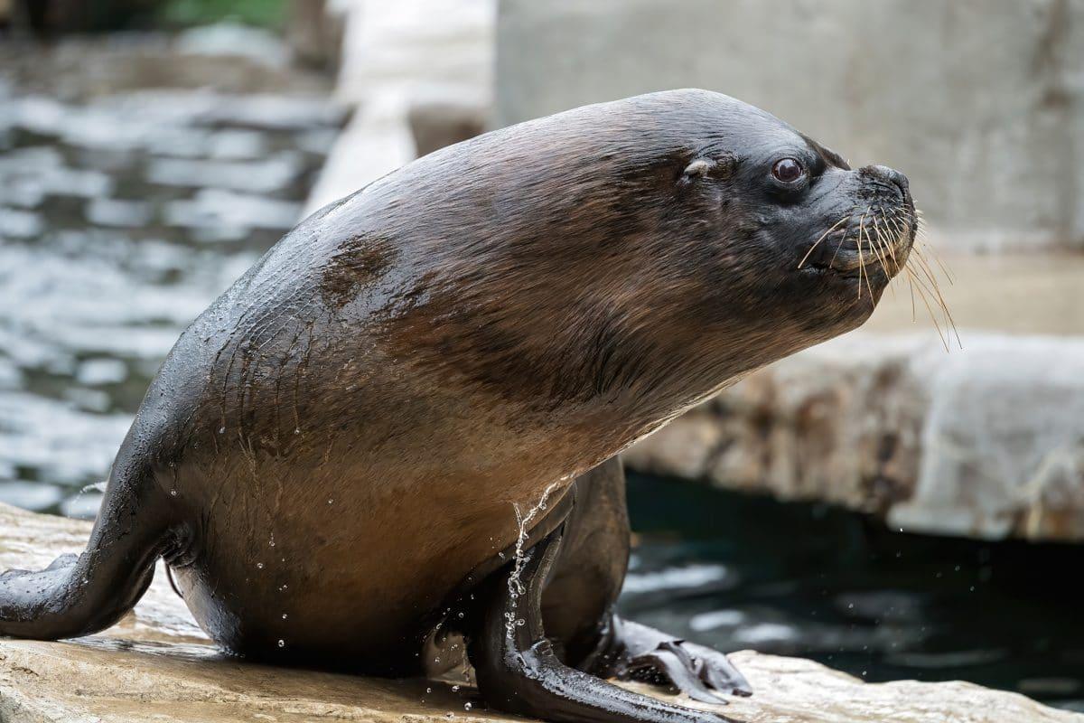 Robben-Männchen im Tiergarten Schönbrunn eingeschläfert