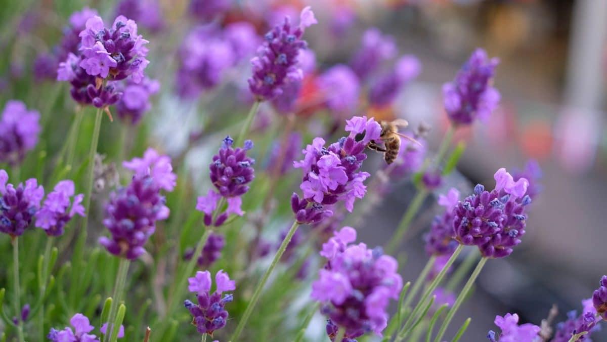 10 Pflanzen, die deinen Balkon zum Paradies für Bienen machen