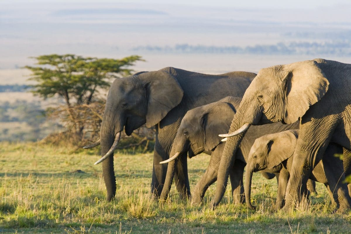 Botswana eröffnet Jagd auf Elefanten