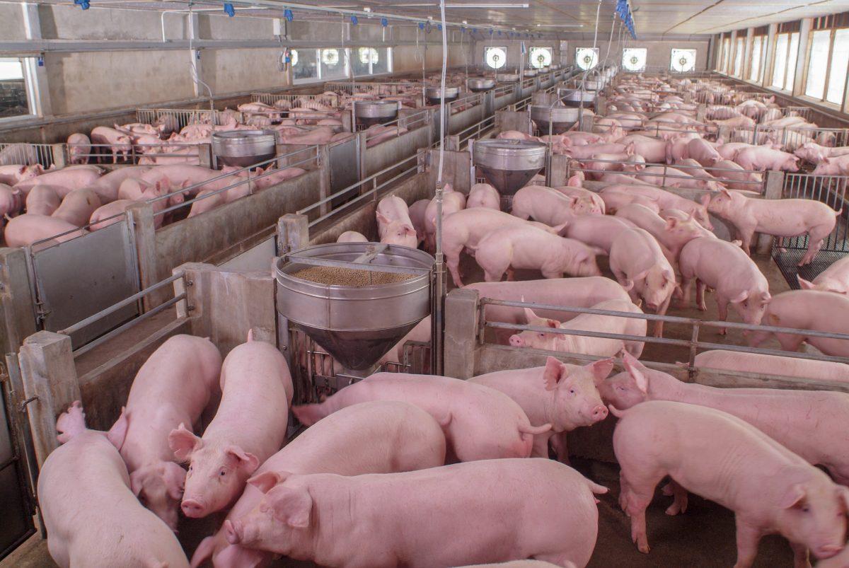 Großbrand in Zuchtanlage: 57.000 Schweine sterben in Flammen