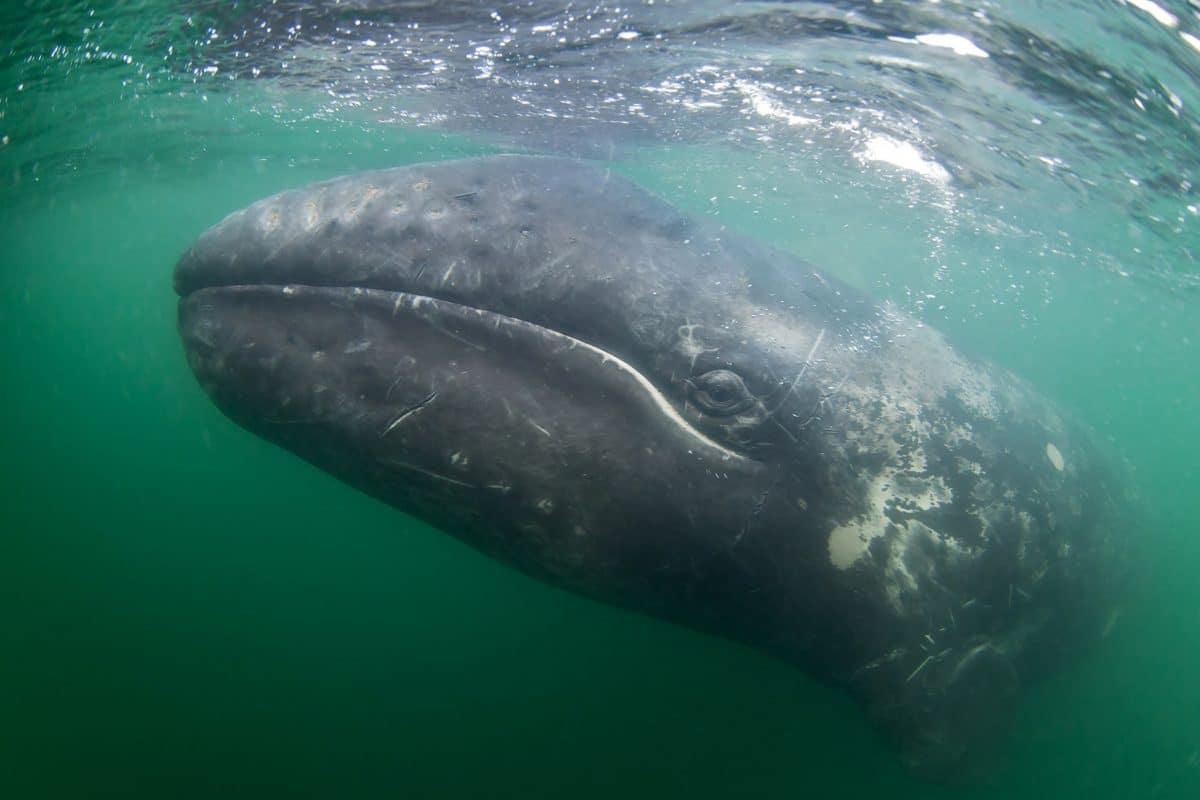 "Grauwal ""Wally"" vor Neapel gibt Forschern Rätsel auf"