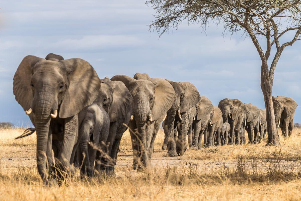 Wilderer von Elefanten zu Tode getrampelt