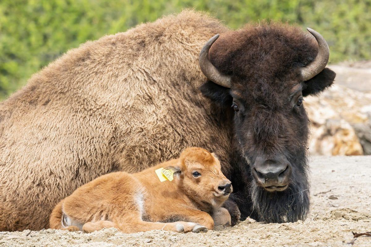 Bison-Baby im Tiergarten Schönbrunn geboren