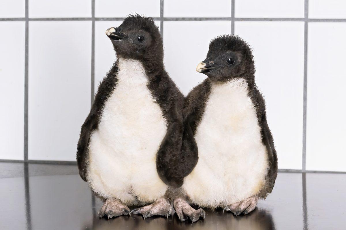 Elf Pinguin-Babys im Tiergarten Schönbrunn geschlüpft