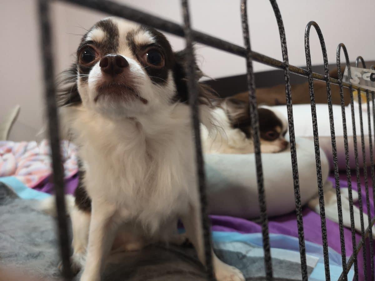 46 verwahrloste Chihuahuas vor Züchter in Deutschland gerettet